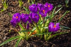 Flores do açafrão na flor, mola adiantada Fotografia de Stock