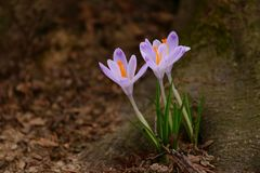 Flores do açafrão na floresta imagem de stock royalty free