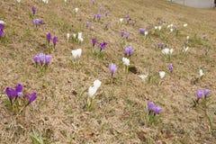 Flores do açafrão na grama Fotografia de Stock Royalty Free