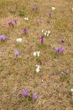Flores do açafrão na grama Foto de Stock