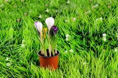 Flores do açafrão na grama verde Imagens de Stock