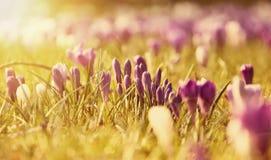 Flores do açafrão na luz do sol Imagem de Stock
