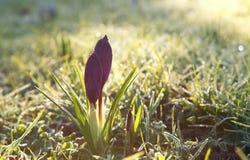 Flores do açafrão na luz do sol da mola Imagens de Stock