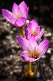 Flores do açafrão na luz do sol da primavera Imagens de Stock