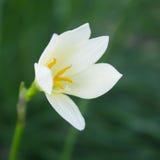 Flores do açafrão na luz do sol da primavera Fotografia de Stock Royalty Free