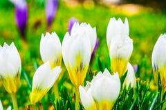 Flores do açafrão na luz do sol da primavera Foto de Stock