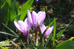 Flores do açafrão na luz do sol da primavera Fotos de Stock