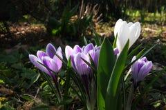 Flores do açafrão na luz do sol da primavera Imagens de Stock Royalty Free
