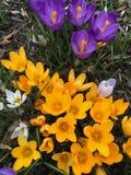 Flores do açafrão na luz do sol da primavera Fotografia de Stock