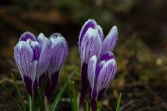Flores do açafrão na luz do sol da primavera Foto de Stock Royalty Free
