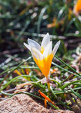 Flores do açafrão na luz do sol Mola na ilha de Mykonos Fotografia de Stock Royalty Free