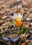 Flores do açafrão na luz do sol Mola na ilha de Mykonos Imagens de Stock