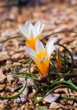 Flores do açafrão na luz do sol Mola na ilha de Mykonos Fotos de Stock Royalty Free