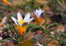 Flores do açafrão na luz do sol Mola na ilha de Mykonos Imagens de Stock Royalty Free