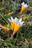 Flores do açafrão na luz do sol Mola na ilha de Mykonos Imagem de Stock