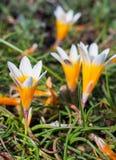 Flores do açafrão na luz do sol Mola na ilha de Mykonos, Foto de Stock