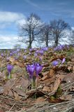 Flores do açafrão na luz do sol da primavera Imagem de Stock Royalty Free