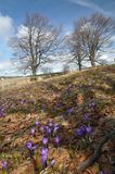 Flores do açafrão na luz do sol da primavera Fotos de Stock Royalty Free