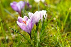 Flores do açafrão na mola Fotografia de Stock