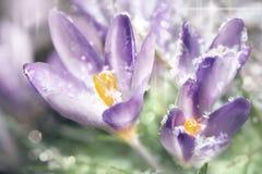 Flores do açafrão na mola Fotografia de Stock Royalty Free
