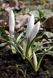 Flores do açafrão na mola Imagens de Stock Royalty Free