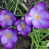 Flores do açafrão na mola Foto de Stock Royalty Free