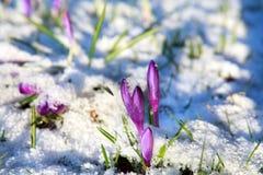 Flores do açafrão na neve Foto de Stock Royalty Free