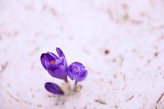 Flores do açafrão na neve Fotos de Stock Royalty Free