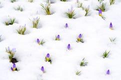 Flores do açafrão na neve na mola adiantada Fotografia de Stock