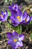 Flores do açafrão na primavera Imagem de Stock Royalty Free