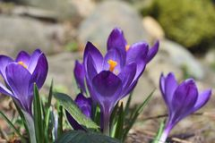 Flores do açafrão na primavera Fotografia de Stock