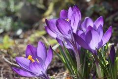 Flores do açafrão na primavera Foto de Stock Royalty Free
