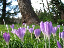 Flores do açafrão na primavera Fotografia de Stock Royalty Free