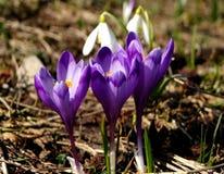 Flores do açafrão na primavera Fotos de Stock Royalty Free