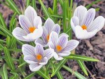 Flores do açafrão na primavera Imagem de Stock