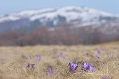 Flores do açafrão nas montanhas Fotografia de Stock Royalty Free