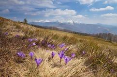 Flores do açafrão nas montanhas Imagem de Stock Royalty Free