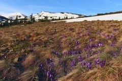 Flores do açafrão nas montanhas Fotos de Stock Royalty Free