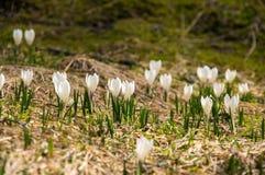 Flores do açafrão nas montanhas altas Imagens de Stock Royalty Free