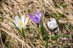 Flores do açafrão nas montanhas altas Foto de Stock Royalty Free