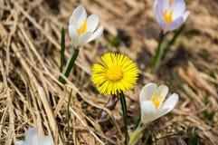 Flores do açafrão nas montanhas altas Foto de Stock