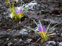 Flores do açafrão no amanhecer Imagem de Stock