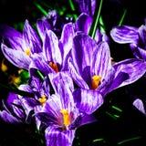 Flores do açafrão no canteiro de flores Fotografia de Stock
