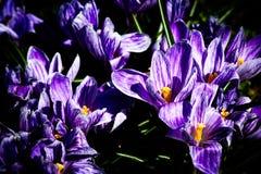 Flores do açafrão no canteiro de flores Imagem de Stock Royalty Free