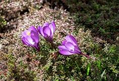 Flores do açafrão no canteiro de flores Imagens de Stock