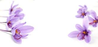 Flores do açafrão no fundo branco Fotos de Stock