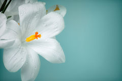 Flores do açafrão no fundo colorido vintage Foto de Stock