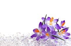 Flores do açafrão no gelo Imagens de Stock
