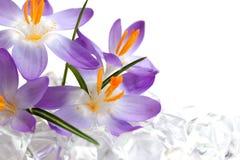 Flores do açafrão no gelo Imagens de Stock Royalty Free