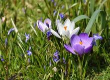 Flores do açafrão no jardim Fotos de Stock